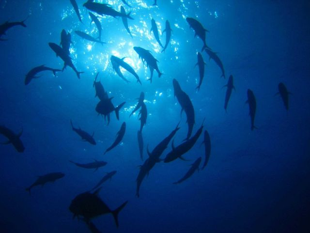 A swirl of ulua (giant trevally) Caranx ignobilis illuminated by sparkles of sunlight Picture
