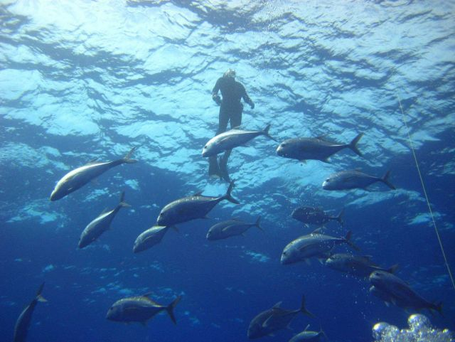 A diver above a school of ulua (giant trevally) Caranx ignobilis Picture