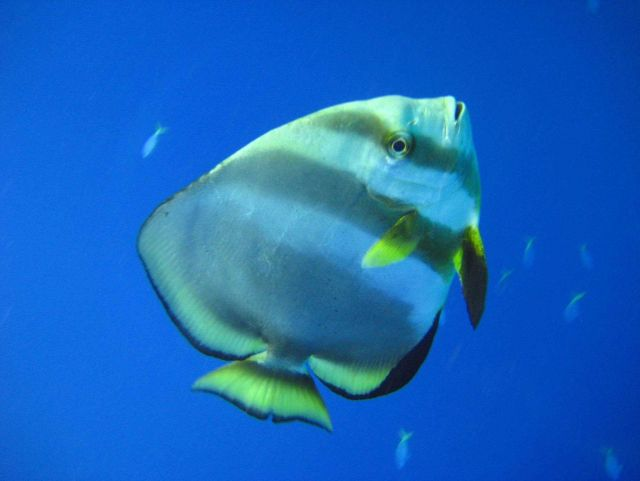 Longfin batfish (Platax pinnatus) Picture