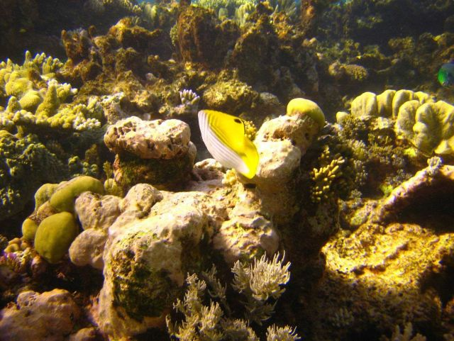Threadfin butterfly fish from rear (Chaetodon auriga) Picture