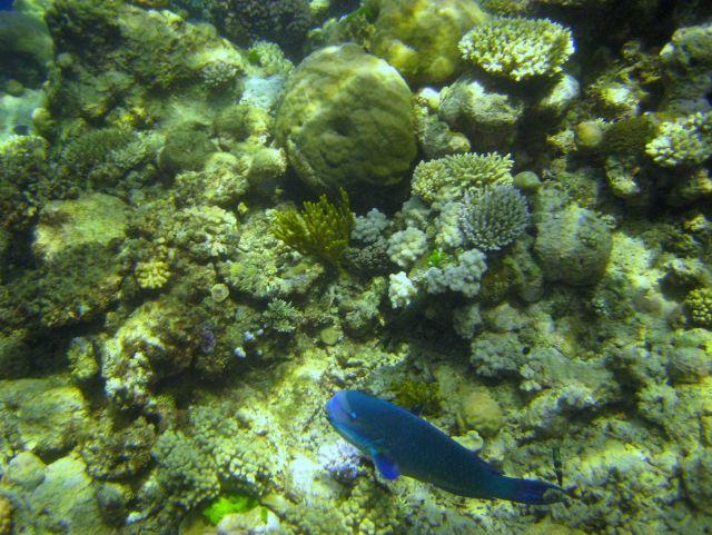 Parrotfish Picture