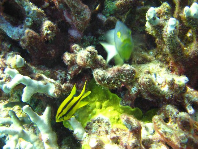 Yellowtail damselfish (Neoglyphidodon nigroris) in bottom left. Picture