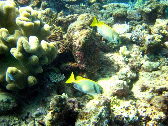 A pair of pencil-streaked rabbitfish (Siganus doliatus) Picture