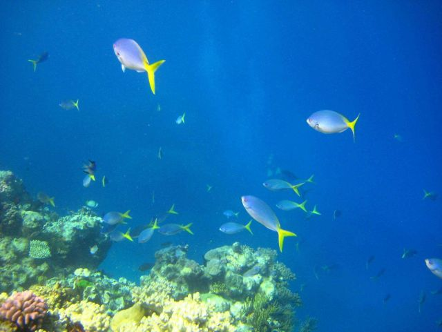 Yellow and blueback fusiliers (Caesio teres Picture