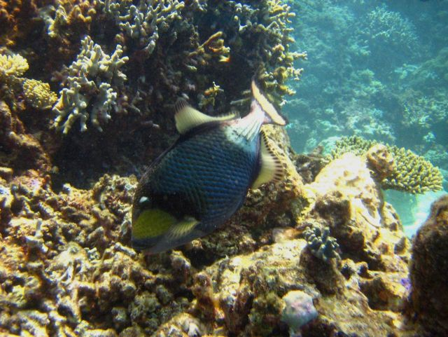 Titan triggerfish or moustache triggerfish (Balistoides viridescens) Picture