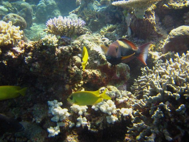 Yellow chromis and parrotfish Picture