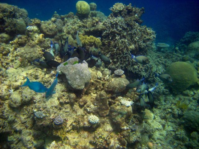 Two parrotfish and school of ringtail surgeonfish (Acanthurus blochii) Picture