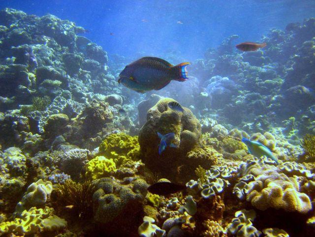 Possibly bicolor parrotfish in center (Cetoscraus bicolor) Picture