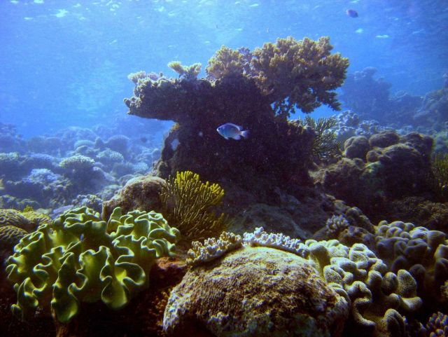 Reef scene with damselfish (Pomacentrus sp.) Picture
