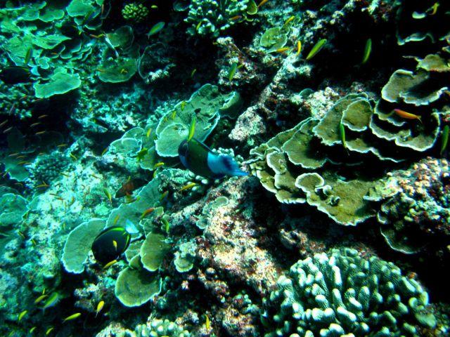 Whitecheek surgeonfish (Acanthurus nigricans) lower left: Picture