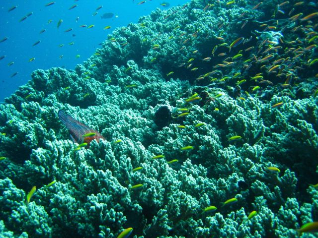Reef scene with anthias and tail of large fish protruding from coral Picture