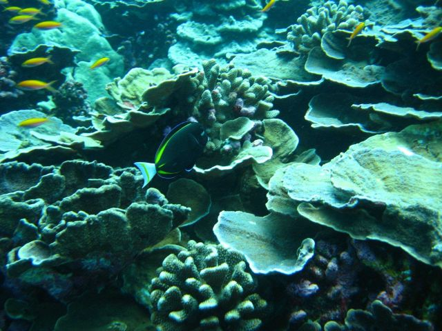 Whitecheek surgeonfish (Acanthuras nigricans) Picture