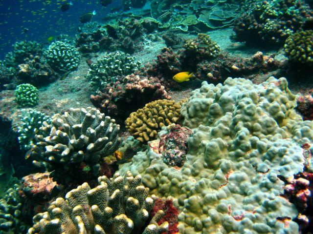 Golden damselfish (Amblyglyphidodon aureus) in beautiful undersea coral garden Picture