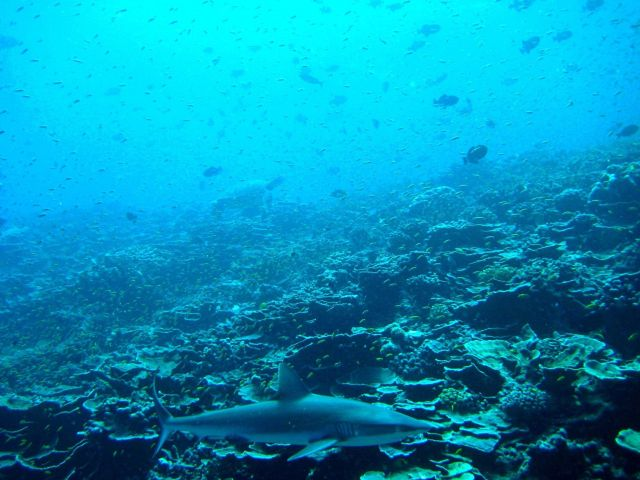 Silvertip shark (Carcharhinus albimarginatus) with sea turtle in distance Picture