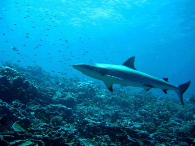 Silvertip shark (Carcharhinus albimarginatus) Picture