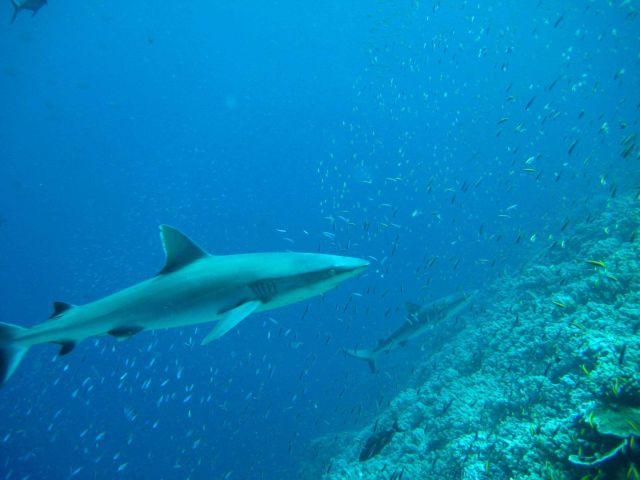 Silvertip shark (Carcharhinus albimarginatus) 0 Picture