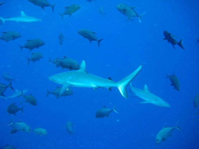Silvertip shark (Carcharhinus albimarginatus) and giant trevally Picture
