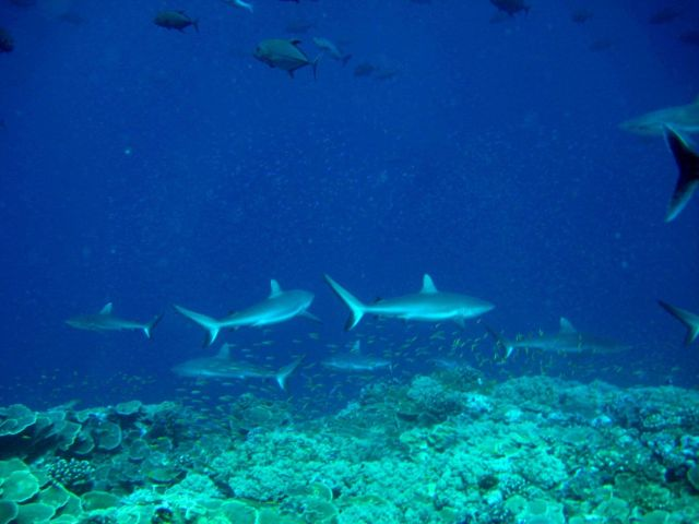 Giant trevally and gray reef sharks over reef Picture