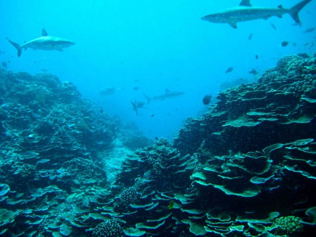 Gray reef sharks over a wide expanse of lettuce coral Picture