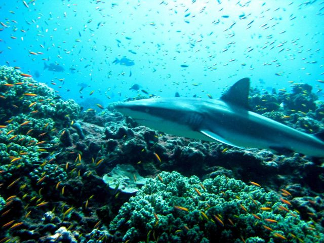 Gray reef shark in a cloud of anthias Picture