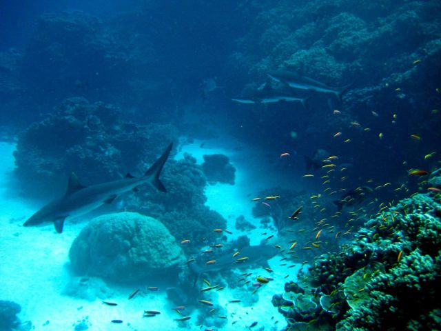 Silvertip shark(Carcharhinus albimarginatus) and gray reef sharks over the reef with school of anthias Picture