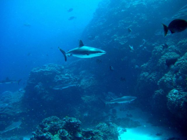 Silvertip shark(Carcharhinus albimarginatus) and gray reef sharks over the reef Picture