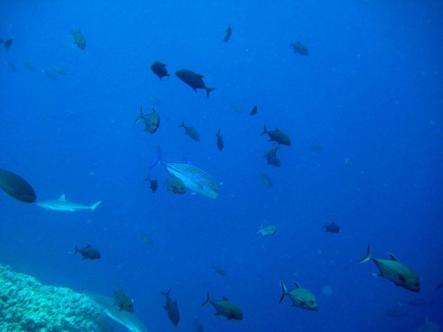 Bluefin trevally amongst school of juvenile giant trevally Picture