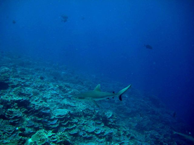 Silvertip shark (Carcharhinus albimarginatus) over the reef Picture