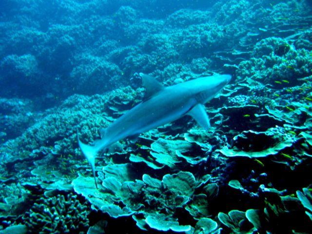 Gray reef shark (Carcharhinus amblyrhynchos) over the reef Picture