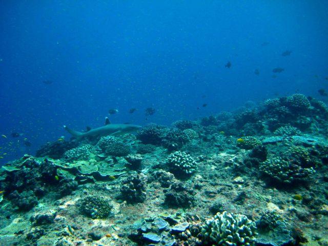 Reef whitetip sharp (Triaenodon obesus) Picture
