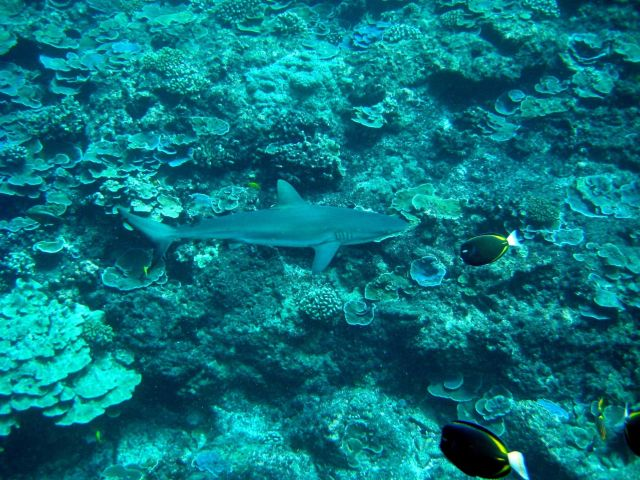 Gray reef shark (Carcharhinus amblyrhynchos) over the reef with whitecheek surgeonfish (Acanthurus nigricans) hovering above Picture