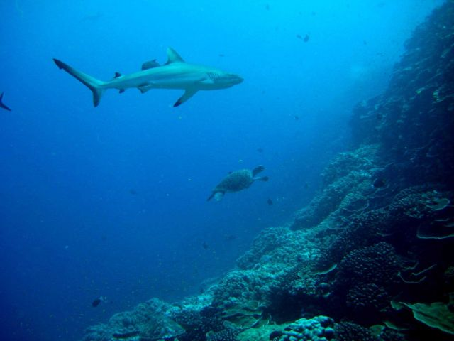 Gray reef shark and green sea turtle cruising along a near vertical reef. Picture