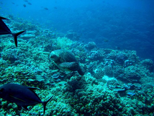 Green sea turtle coming up from the depths Picture