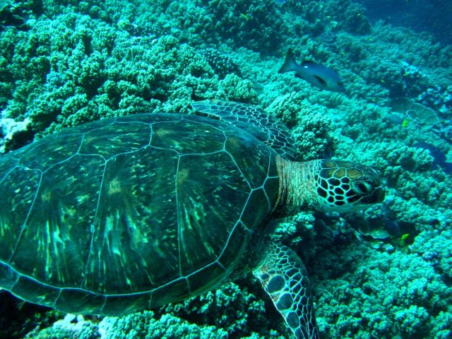Green sea turtle cruising over the reef Picture