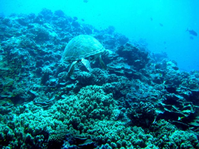 Stern view of a green sea turtle cruising over the reef Picture