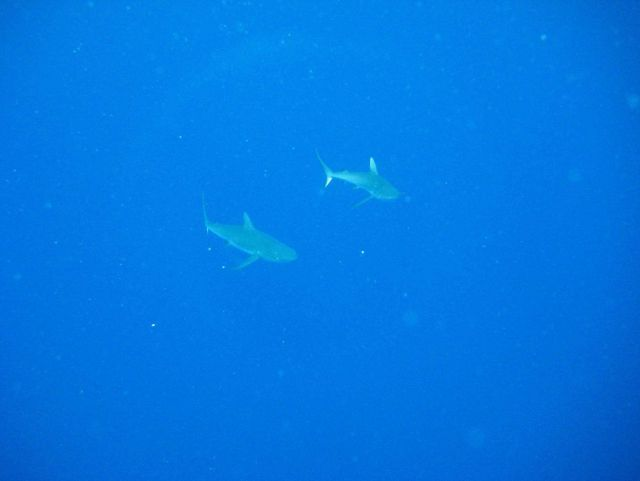 Sharks appearing out of the abyss Picture