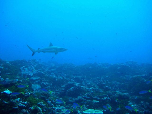 Gray reef shark with blue and yellow fusiliers in foreground Picture