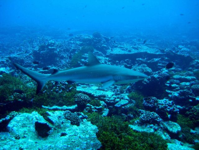 Gray reef shark Picture