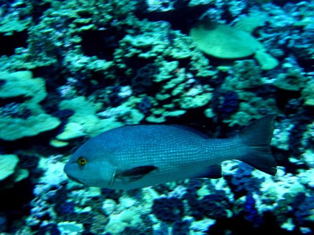 Red snapper or bohar snapper (Lutjanus bohar) Picture