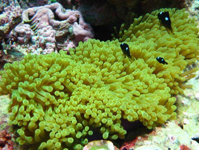 Juvenile three-spot Dascyllus damselfish (Dascyllus trimaculatus) in anemone Picture