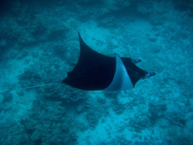 Manta ray (Manta birostris) Picture