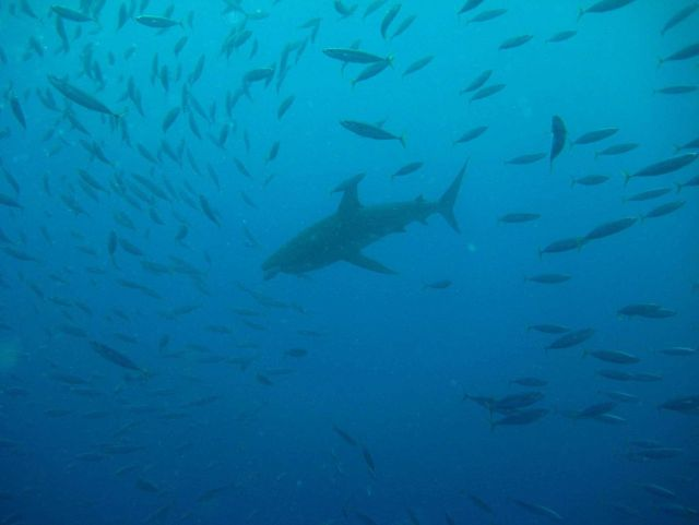 School of fusiliers disbursing as gray reef shark approaches Picture