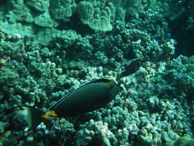 Orangespine unicornfish or naso tang Picture