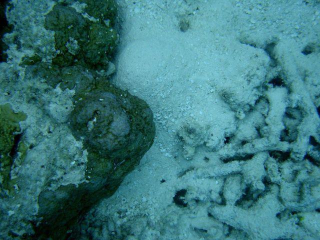 Acroporidae coral Montipora sp. Picture