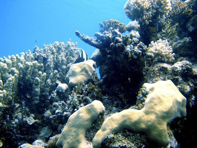 Reef scene with multiple scleractinian coral species and a moorish idol. Picture