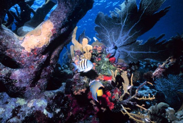 A reef scene with a sergeant major fish and an angelfish. Picture