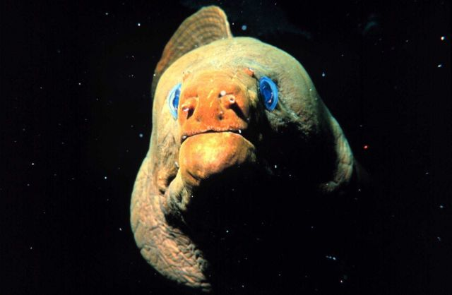 Head-on view of a green moray eel. Picture