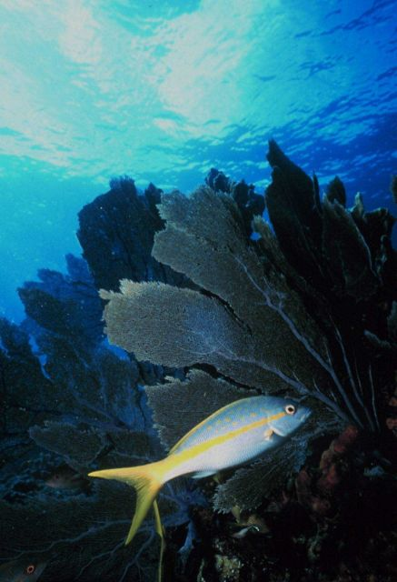 Yellowtail snapper with seafan. Picture