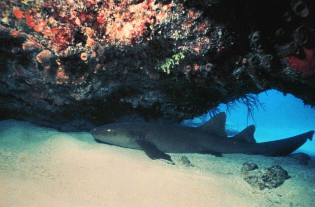 A nurse shark under a ledge. Picture