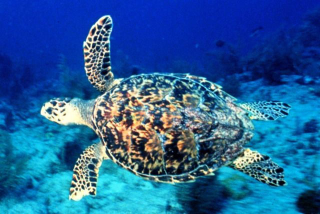 A hawksbill turtle swimming. Picture
